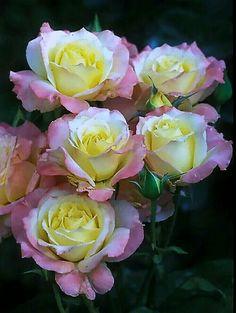 when do hybrid tea roses bloom Amazing Flowers, Beautiful Roses, Beautiful Gardens, Beautiful Flowers, Pretty Roses, Exotic Flowers, Purple Flowers, Flowers Pics, Fresh Flowers