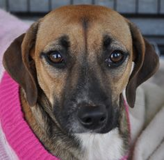 02/12/16 - Meet Patience, a Petfinder adoptable Labrador Retriever Dog | Atlanta, GA | Patience is a sweet girl but she is insecure and a little shy. She is friendly with people she...