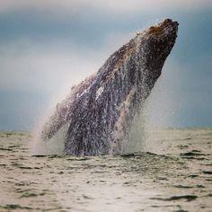 Una ballena jorobada salta en la superficie del Océano Pacífico en el parque Uramba Bahia Malaga en Colombia, las ballenas jorobadas emigran anualmente de la Península Antártica a la costa del Océano Pacífico Colombiano a dar a luz y amamantar a sus crías. Foto: AFP