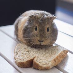 {Life of Bean the Guinea Pig} - Beans on Toast