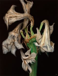 Decaying Amaryllis III, Oil on paper. Garden Illustration, Botanical Illustration, Wilted Flowers, Decay Art, Advanced Higher Art, Billy Kidd, Low Maintenance Garden Design, Growth And Decay, Still Life