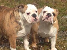 Molly og Prada. Engelsk Bulldog