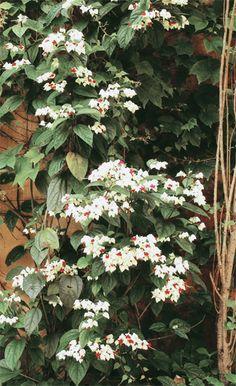 A Lágrima-de-cristo (Clerodendron thomsonae) da arquiteta Cinthia Liberatori separa sua casa da do vizinho. As flores vermelhas, protegidas por cálices brancos, são comuns na primavera (período de desenvolvimento de mudas) e no verão. Deve ser podada no inverno e floresce tanto sob o sol como à meia sombra e em terrenos arenosos.