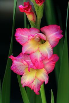 Pink and yellow gladiolus