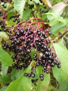 Beyond Grapes: Elderberry Wine - Food is Medicine - Elderberry Elderberry Liqueur, Elderberry Recipes, Cordial Recipe, Homemade Liquor, Homemade Gifts, Elderflower Cordial, Clean Eating For Beginners, Herbs For Health, Grains