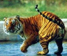 Meet the Bengal Tiger. He want to make new Friend.