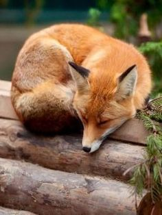 Red Fox - Photographer unknown