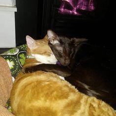 Best friends by the fire. #InstaTags4Likes #cat #cats #kitten #kittens #catsagram #catstagram #instagood #pet #pets #animal #animals #petstagram #petsagram #photooftheday #catsofinstagram #ilovemycat #instagramcats #catoftheday #caturday #lovecats #lovekittens #adorable #catlover #instacat #tortie #oriental #tw #pin