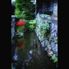 水路の彼岸花lilies with the water #lily #higanbana #redflower #water #japaneseview #reflection #eos70d #彼岸花 #水路 #水路萌え #路地裏 #映り込み #赤い花