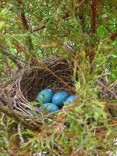 Robin nest with eggs~ Oh the wonders of God's creation! Love Birds, Beautiful Birds, Nester, Beltane, Jolie Photo, Fauna, Bird Watching, Bird Feathers, Bird Houses