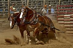 Horse pull competition at Owen County Fair in Indiana. Big Horses, Work Horses, Cowboy Horse, Cowboy Art, All About Animals, Animals And Pets, Different Horse Breeds, Bull Riding, Photo Competition