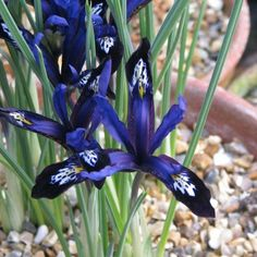 IRIS reticulata Blue (Iris réticulé)