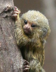Cute Pygmy Marmoset baby at Northern Ireland's Belfast Zoo. Marmosets are the world's smallest monkey species. Newborn Animals, Cute Baby Animals, Primates, Mammals, Monkey Species, Pygmy Marmoset, Cute Animal Drawings Kawaii, Pet Monkey, Cute Animal Pictures