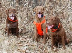 Peggy's Pet Place: FitDog Friday- Meet the Chesapeakes