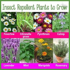 Insect repellent plants to grow....