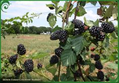 You Pick Blackberries at Moon Farms Country Market in Colbert, Georgia
