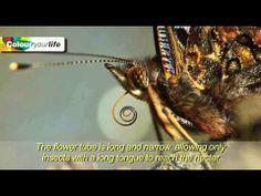 El arbusto de las mariposas (Buddleja Lilac). ColourYourLife. Subt-ESP - YouTube
