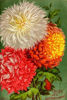 Vintage Chrysanthemum Child's Seed Catalog ~ Artefacts
