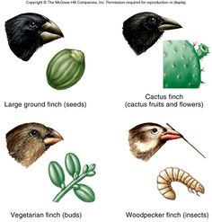 an introduction to the analysis of the evolution of finches Introduction to evolutionary biology version 2 the impression of it being a soft science is reinforced when biologists in unrelated fields speculate publicly about evolution this is a brief introduction to most of the finches starved the population plummeted from.