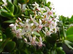 Pozsgafa gondozása olvasói tanácsokkal | Balkonada Plants, Plant, Planets