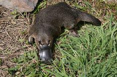 Cute Baby Animals, Funny Animals, Le Castor, Echidna, Platypus, Australian Animals, Drawing Challenge, Animals Of The World, Nature Animals