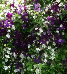 Clematis viticella Viola and Clematis Summer snow Beautiful Flowers Garden, Flowers Nature, Beautiful Gardens, Garden Trellis, Garden Plants, Snow In Summer, Clematis Vine, Purple Garden, Flowering Vines