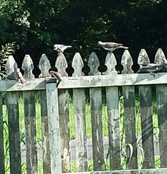 A blue Jay and doves trying to intimidate a small woodpecker . Didn't work. He attacked them !