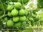 Jatropha tree showing promise as new biofuel
