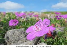 Field of wild flowers under the blue sky on the rocky Mølen beach in Norway - background Wild Flowers, Norway, Photo Editing, Royalty Free Stock Photos, Sky, Beach, Nature, Plants, Pictures