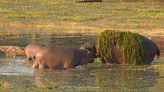 Stylish Hippo with @JamesRAHendry  at #Arathusa on #SafariLiive 6-22-15