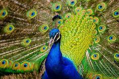 Peacock, Plumage, Bird, Peafowl Peacock Images, Peacock Photos, Animal Wallpaper, New Wallpaper, Nature Wallpaper, Female Peacock, Power Animal, Peafowl, Close Up Photography