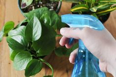 If your houseplant's leaves are turning yellow, it may have a sulfate deficiency. If the leaves are turning yellow but the veins in the leaves remain green, your plant may have a magnesium deficiency. Epsom salts, a natural source of both minerals, can help protect your plants against such deficiencies, resulting in lusher foliage, increased...