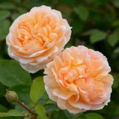 Rosa The lady Gardener rd