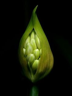 Photo by Roger Buttetworth - bud of an African lily (Agapanthus) begins to open.