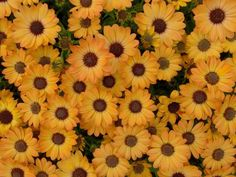 # Dimorfoteka Flowers Yellow Wallpaper Pc, Wallpaper Backgrounds, Hd Flowers, Desktop Windows, Iphone Mobile, Calendula, Kawaii, Yellow, Plants
