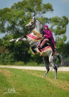 Arabian Horse Arabian Horse Show - Western Competition Egyptian Stallion Breeding PIntabians