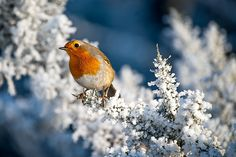 Photograph Winter Robin by Mike Pearce on 500px
