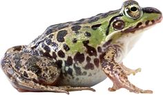 frog_PNG3844.png (2231×1313)