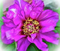Tree Peony 2.  One of the largest and most flamboyant flowers in the garden surely must be the vibrant tree peony.
