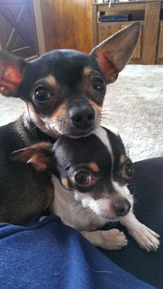 Rowley (brown) and Juno (white and black) Tea-cup chihuahuas. The lucky parents of 3 beautiful babies.