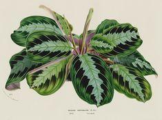 Maranta massangeana from 1845 Louis Van Houtte Flores de Serres Beautiful Leaved Prints