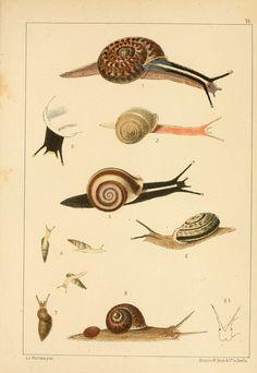 """Die Preussische expedition nach Ost-Asien. bd.2. Berlin :Königlichen geheimen ober-hofbuchdruckerei (R. v. Decker),1867-1876. biodiversitylibrary.org/page/14040776 Helix snails shoot """"love darts"""" en.wikipedia.org/wiki/Love_dart at potential mates. C Helix brasiliana in #bhlib (fig. 1) biodiversitylibrary.org/page/14040776"""