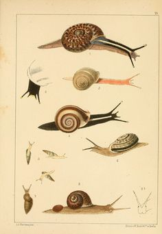 "Die Preussische expedition nach Ost-Asien. bd.2. Berlin :Königlichen geheimen ober-hofbuchdruckerei (R. v. Decker),1867-1876. biodiversitylibrary.org/page/14040776 Helix snails shoot ""love darts"" en.wikipedia.org/wiki/Love_dart at potential mates. C Helix brasiliana in #bhlib (fig. 1) biodiversitylibrary.org/page/14040776"