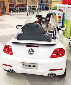 BEEP! BEEP! Roxy the miniature Schnauzer in a VW Beetle