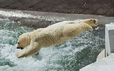 A young polar bear leaps into a pool at the zoo in Moscow, RussiaPicture: Olga Gladysheva / Barcroft Media