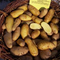 Linzer Delikatess Potato - Early fingerling; small and oval with yellow skin; waxy potato most popular for boiling or making salads.