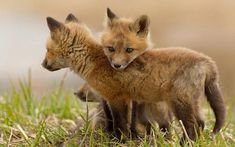 Cute baby foxes.by Picturegirl.