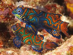 A legendary fish among both divers and aquarists, this beautiful mandarinfish, or mandarin dragonet, is a member of the dragonet family.