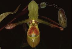 Phragmipedium lindleyanum