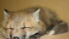 Sleeping Man Cuddles with Fox After Mistaking It for His Girlfriend via www.gawker.com